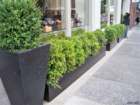 Boxwood Planters by Buxus Sempervirens Name That Plant