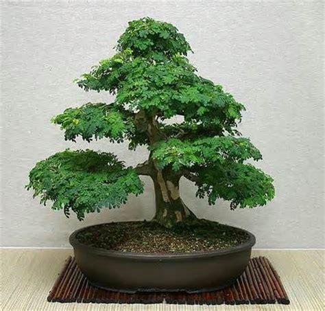 a bonsai christmas lifestyles