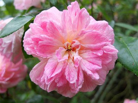 paul transon pink rambler rose