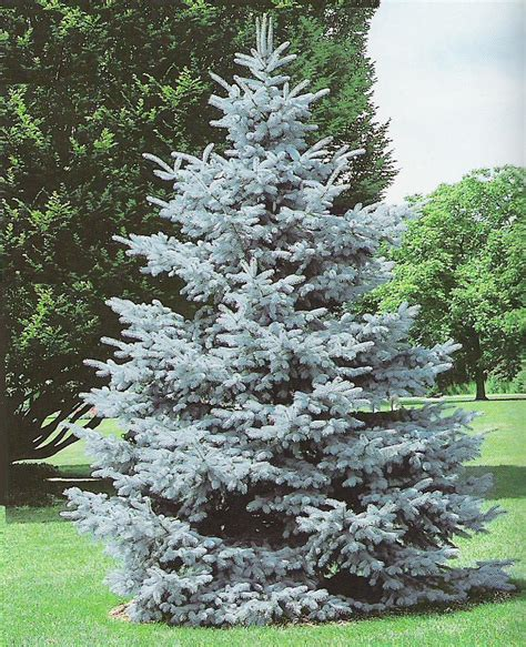 majestic spruce christmas tree the magnifient colorado blue spruce picea pungens was designated the official state tree of