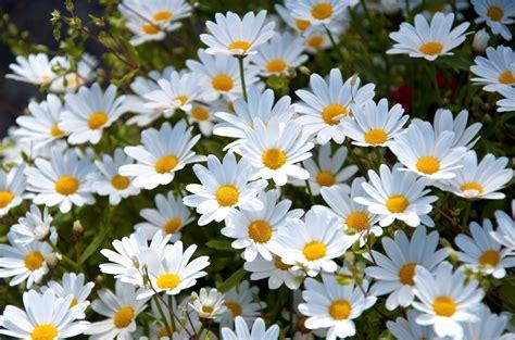 margherita fiore descrizione sfondi natura erba margherita fiore flora petalo