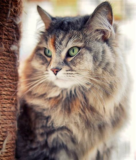 Siberian Cats Shedding by 10 Hypoallergenic Cats Petshoptop
