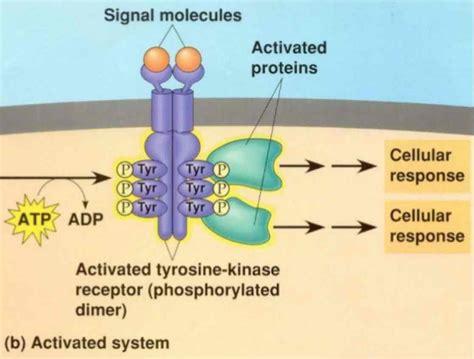 g protein receptor kinase tyrosine kinase receptor course pics