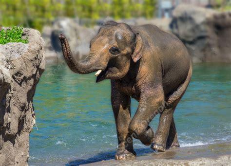 asian elephant elephas maximus samudra scenicoregoncom