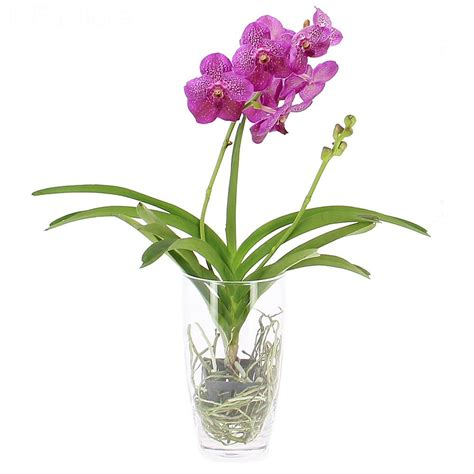 orchidee vaso livraison orchid 233 e vanda vase offert orchid 233 e foliflora