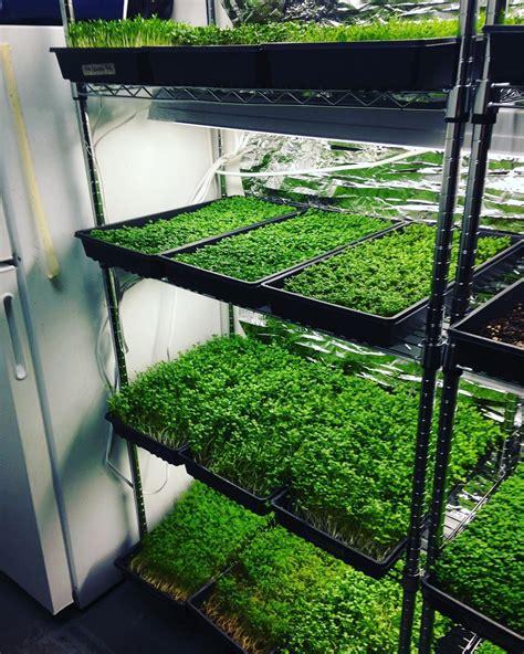 rack full  greens ready   microgreens