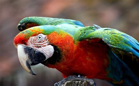 colorful macaw wallpaper colorful parrot close up wallpaper 1680x1050 resolution