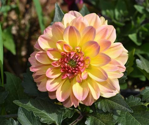 the questionable behavior of dahlia moss a dahlia moss mystery books dahlias plant care and collection of varieties garden org