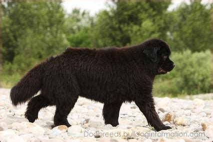newfoundland puppies california pin newfoundland puppies for sale california on