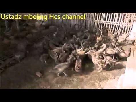 Fermentasi Pakan Ternak Dengan Soc ternak bebek dengan pakan fermentasi soc pola hcs