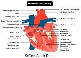 heart cross section diagram heart cross section labeled cross section of human heart
