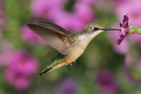 plants that attract hummingbirds to the garden new