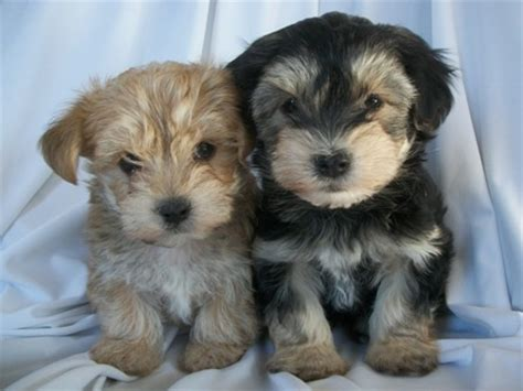 yorkie poo puppies for sale in appleton wi 17 best images about