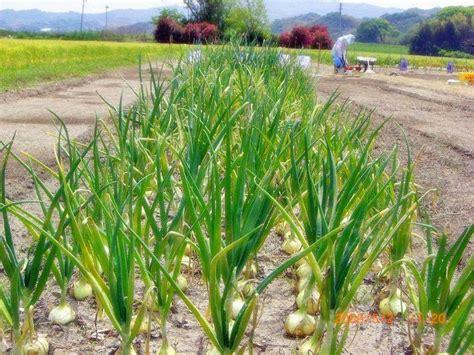 Bibit Bawang Merah Dan Putih cara menanam bawang merah dan bawang putih dalam pot