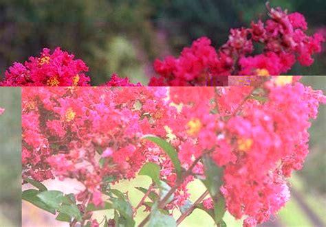 crape myrtle colors crape myrtle color chart images