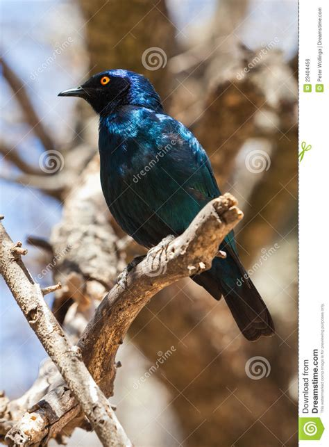 blue sterling bird royalty free stock image image 23404456