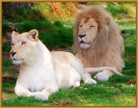 imagenes leones tiernas fotos de leones hermosos archivos imagenes de leones