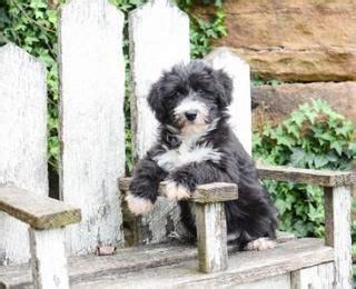mini husky doodle huskypoo husky and miniature poodle mix gorgeous