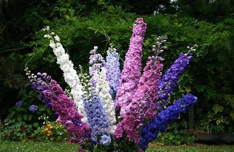 delphinium fiore delphinium ajacis o espuela de caballero
