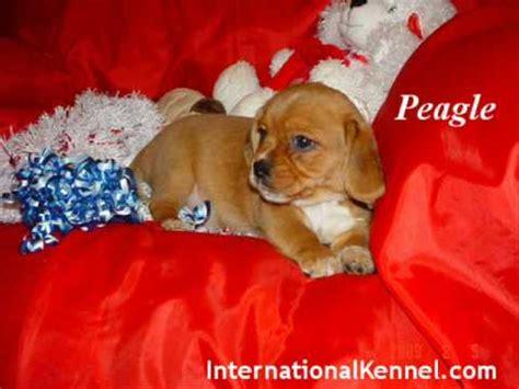 peagle puppies for sale pekingese and beagle mixed puppies peagle puppies for sale