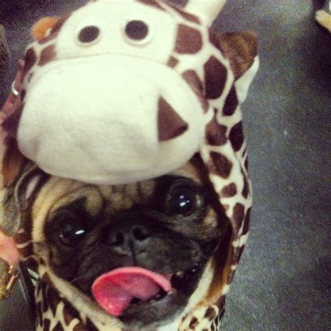 pug selfie what a pug looks like pug costumes barkpost