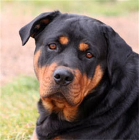 rottweiler eyebrows rottweilers info and