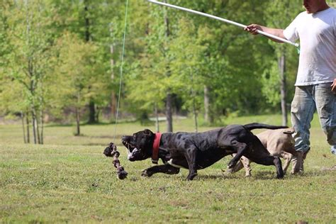 flirt pole how to build a flirt pole exercise equipment for dogs