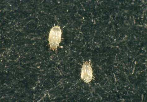 psocids booklice enviroguard pest control