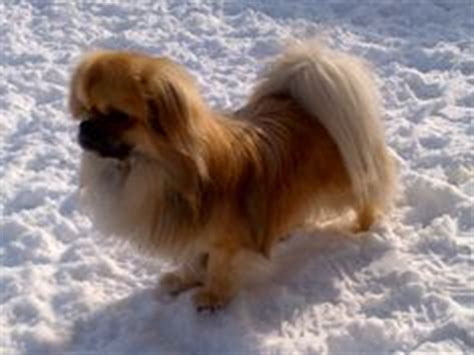 tibetan spaniel x pomeranian 1000 images about jasper tibetan spaniel pomeranian mix all time awesome dogs on
