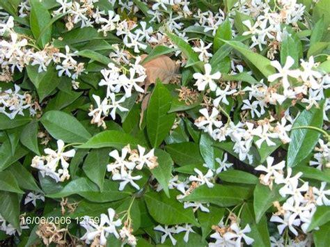 pianta di gelsomino in vaso piante ricanti da vaso ricanti ricanti da vaso