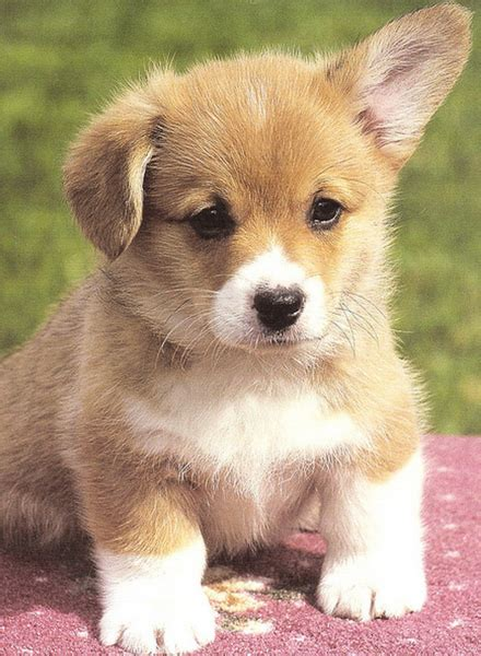 pictures of puppy pretty picture of a corgi puppy photos png