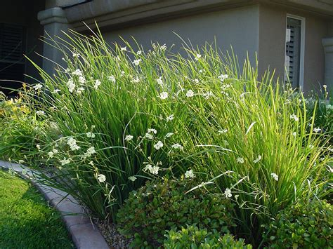bi color iris dietes bicolor mor 233 ia mor 233 ia bicolor tipo herb 225 cea