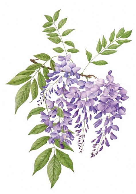 wisteria drawing www pixshark com images galleries