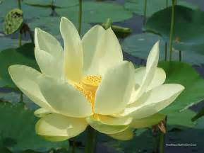 What Are Lotus Lotus Flower Facts All Amazing Facts