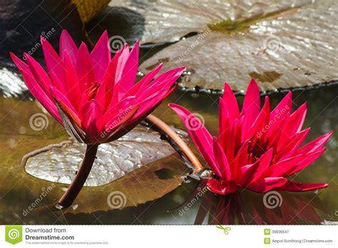 fiore di loto rosso fiore di loto rosso fotografia stock immagine 39836647