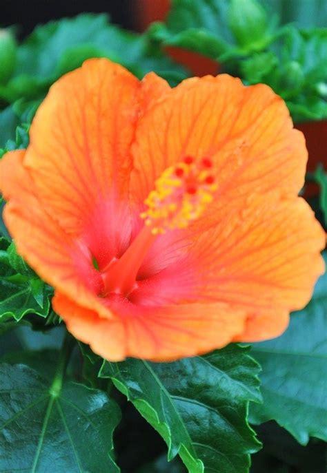 Blumen Pflanzen 3070 by Hibiskus Wann Schneiden Hibiskus Schneiden Wann Wie Macht