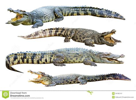 Collection Of Freshwater Crocodile Isolated On Whi Royalty ...
