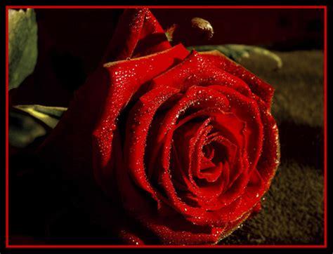 imagenes de rosas originales frases originales foriginales twitter