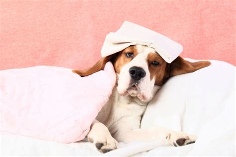 can dogs catch human colds can your pet catch your cold and vice versa pets4homes