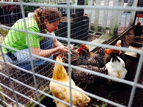 fewer than 100 jax backyard hen permits remain wjct news