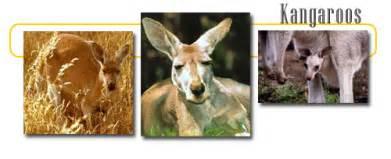 Terbaik Tas Kangaroo Kingdom Bandicoot kangaroo info and