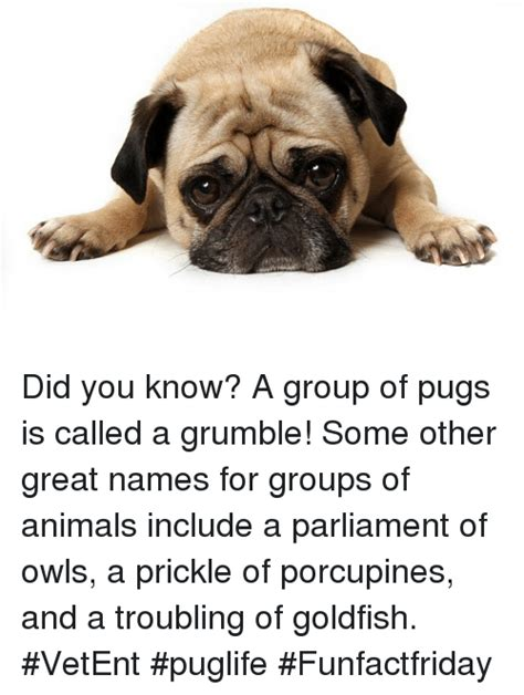 what is a of pugs called 25 best memes about a of pugs a of pugs memes