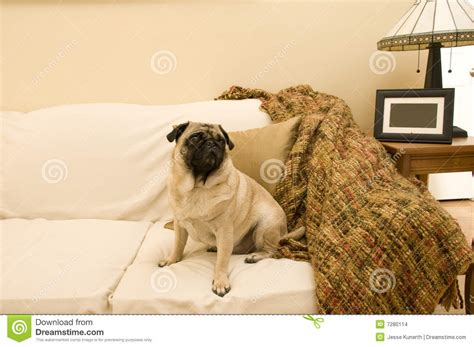 pug on couch cute pug on couch stock images image 7280114
