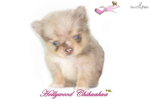 blue merle teacup chihuahua puppies sale meet www hollywoodchihuahua a chihuahua puppy for sale for 2 500 chihuahua