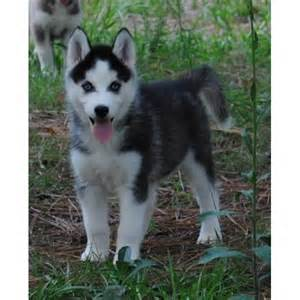husky puppies for sale in arkansas pets arkansas free classified ads