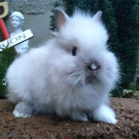 alimentazione coniglio testa di femmina testa di siamese la stalla dei conigli