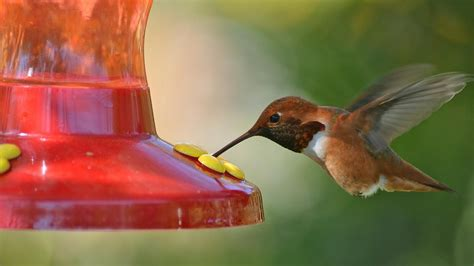 what is the diet of a hummingbird reference com