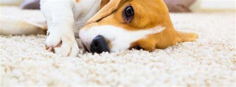 como limpiar la orina de perro de las alfombras canalhogar