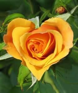 bilder von rosen die sch 246 nheit behalten archzine net