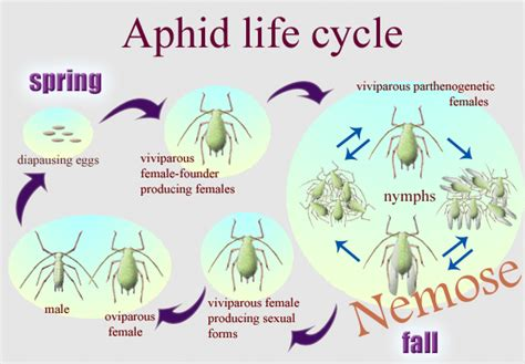 cycle of aphids diagram aphid cycle diagram quotes